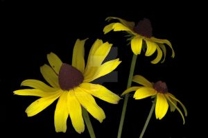 Black-eyed Susans 1 by wendygoerl