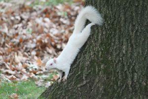 Snow White Squirrel by 7mts