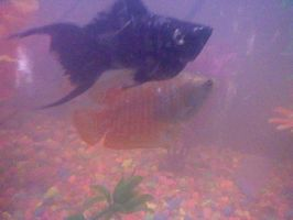 Red Stripe Gourami and Dalmatian Molly by EternalxRequiem
