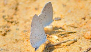 Butterfly Series (Summer Azure) by sioranth