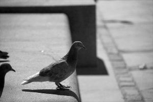 Of The Pidgeons Life by rici66