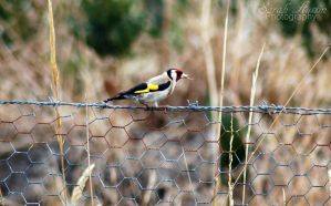 European Goldfinch. by CapnSarah