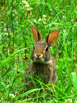 Wild, but very cute, baby bunny 2 by LigerGirl