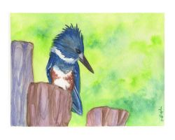 Belted Kingfisher by dancingheron