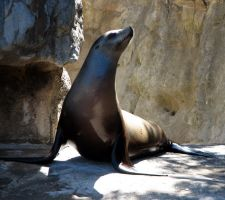 K-S: Sealion1 by Kyndelfire-stock