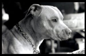 Pitbull in black and white by Drunk-Kittens