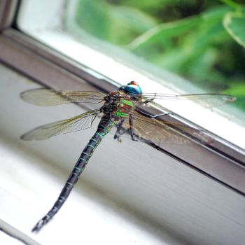 Dragonfly by notoriousgem42