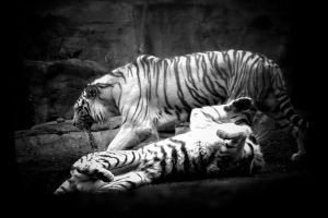 playful white tigers by TlCphotography730