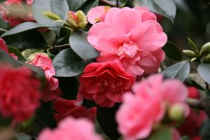 view to camellias 3 by ingeline-art