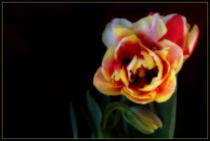 DOUBLE TULIP 4 by THOM-B-FOTO