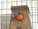 Lorikeet Hidey hole by VenDuckie
