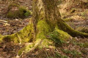 Mossy Tree Trunk by crimsonpenguin