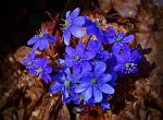 Liverworts by MP-Tuomela
