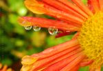 Chrysanthemum Droplets by artamusica