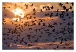 Snow Geese by Ian-Plant