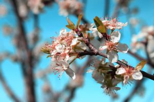 Spring colorful series cherry 4 by GreenSlOw