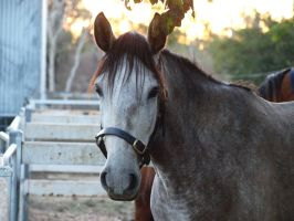 Bella, Andalusian Mare by hollybambam