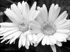 Perfect Daisies by KatieLindPhotography