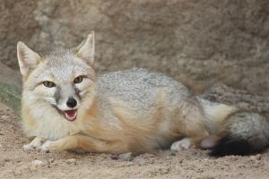 Swift Fox Smiling by Jack-13