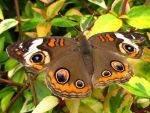 Buckeye Butterfly by Coatlique