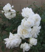 Christmas Roses 122514 01 by acurmudgeon