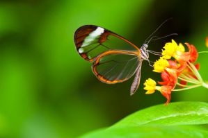 Butterfly 1 by Jarno-photography