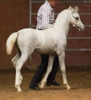STOCK - 2014 Welsh QLD Show-126 by fillyrox