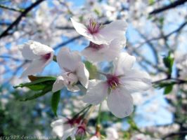 Cherry Blossom in Japan by gray929
