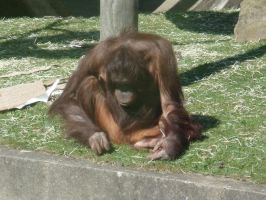 Orangutang Sulking by lilminx29