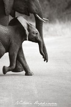 Baby elephant by victoriahopkinson