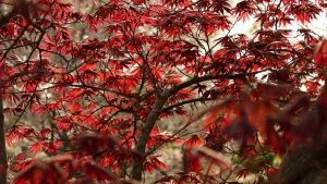 Japanese Maple by kg4wih