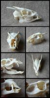 Muntjac Skull by CabinetCuriosities