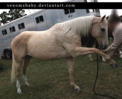 light sandy palomino mare 1 by venomxbaby