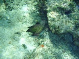 TME Akumal, Mexico: French Angelfish by Namyr