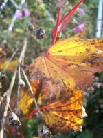 autumn leaves 2012 by evanna11