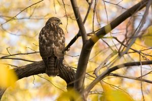Fall Hawk by Robin-Hugh