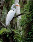 Egret in a tree by illmatar