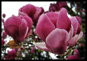 Magnolia Flowers by photonFUEL