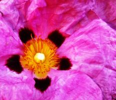 Pink Cistus 2 by graphic-rusty