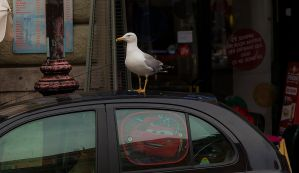 Seagull drives cars. Duh - Rome trip by stevegek