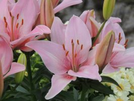 Spring Colors Pink Lily by dmguthery