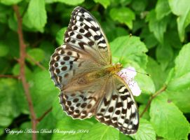 Silver-washed Fritillary. by AdrianDunk