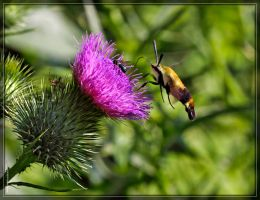 Snowberry Clearwing 50D0000567 by Cristian-M