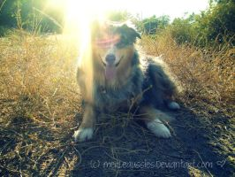 The Sun Always Comes Around by MerleAussies