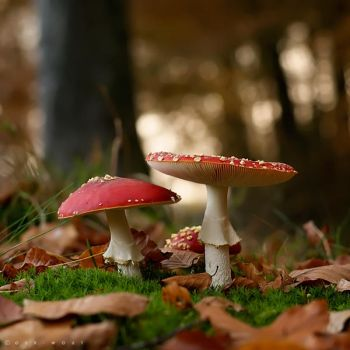 Amanita Muscaria by Oer-Wout