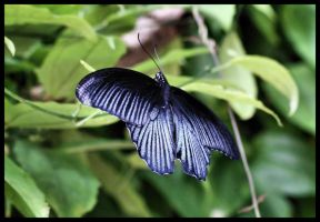 Blue Butterfly by LadyShamisen
