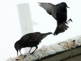 Starlings by LucieG-Stock