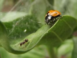 An ant and a ladybird by PMeMe