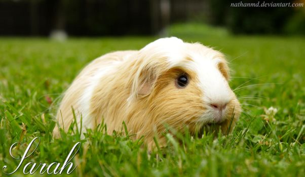 Sarah The Guinea Pig by NathanMD