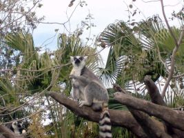 King Julien by cosplay-kitty